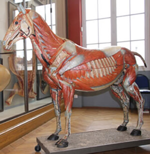 Historic Veterinary Teaching Horse Restored